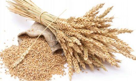Trigo tem alteração para Limites Máximos Tolerados (LMT) para micotoxinas em alimentos
